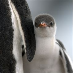 Penguins are cute Cute Creatures, Beautiful Creatures, Beautiful Birds, Animals Beautiful, Cute Baby Animals, Animals And Pets, Penguin Love, Penguin Baby, Penguin Craft