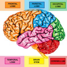 Cerebrum (4 lobes) cerebellum what is the motor cortex and sensory cortex where are they? VOLUNTARY MOVEMENT AND SENSES (TACTILE)