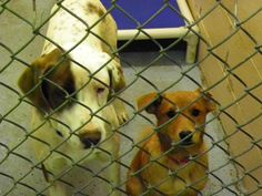 URGENT HIGH KILL SHELTER  Shelter hours:   Monday and Friday 2:00 - 4:00 p.m.   Tuesday, Wednesday and Thursday 12:00 - 4:00 p.m.     Individual Adoptions Cash Only   $60.00 Your Vet Spay/Neuter  $100.00 through Humane Society  Individual adoptions handled by Cleveland County Animal Control.    Rescues please send a copy of your 501C3, Vet referrals, Contact information to pointerpal@aol.com or call Garrett Bender at 704-476-6765.