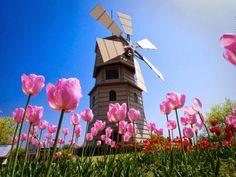 tulipanes holandeses, holanda, tulipanes