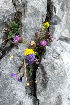 Wild Honey Inn  @WildHoneyInn  #frifotos #Wild flowers of the #Burren lockerz.com/s/188834333