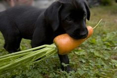 Mmmmm...carrots! Certain vegetables make great alternatives to treats for dogs.