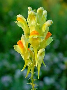 "Linaria vulgaris or ""Butter and Eggs"" - a sort of wild snapdragonette that blooms in midsummer Yellow Flowers, Wild Flowers, Drought Tolerant Garden, Cottage Garden Plants, Plant Pictures, Plant Species, Blossom Flower, Flower Power, Planting Flowers"