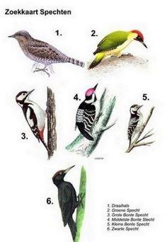 Suchkarte Spechte Source by jufchristine Animals Of The World, Animals For Kids, Animals And Pets, Cute Animals, Mystic Garden, Bird Identification, Bird Poster, Fauna, Bird Species