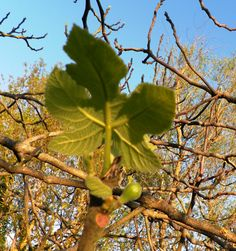 Figuier, Ficus carica, Moracées Avril 2015 Stress et digestion Ficus, Stress, Fruit, Gardens, Fig Tree, Earth, Figs, Psychological Stress, Fig