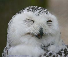 A Smiley  Snowy Owl