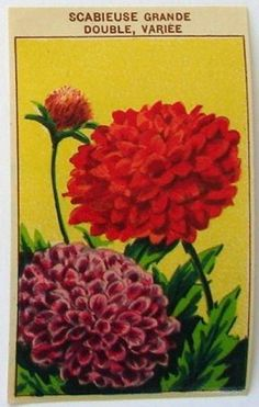 French Flower Seed Label, Scabieuse Grande