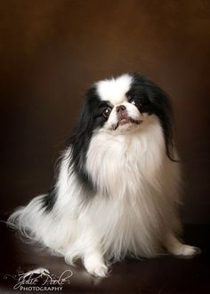 By Julie Poole. Japanese Chin Puppies, Japanese Dog Breeds, Japanese Dogs, Chinese Dog, Dog Varieties, Whippet, Beautiful Dogs, Dog Art, Cute Animals