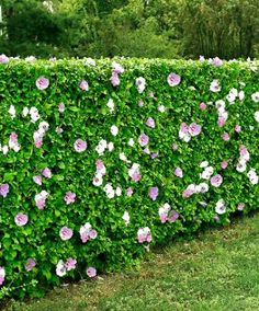 A hardy hedge with good disease resistance, it also makes a great cut flower. Description from pinterest.com. I searched for this on bing.com/images