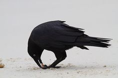 Striking forest raven from Tasmania