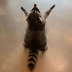 Cute Little Animals, Cute Funny Animals, Cute Cats, Cute Animal Photos, Funny Animal Pictures, Cute Raccoon, Racoon, Meme Faces, Mood Pics