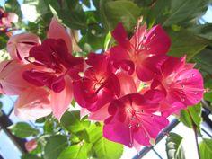 Botanic Gardens: Buganvill 3- Glasgow by Fabiana Massaro