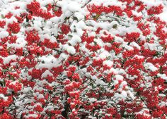 Winter Interest - Red Chokeberry with snow / Aronia Arbutifolia - Deciduous, zones 4-9, 6-8', full sun to part shade, white blooms in April with winter interest. Photo via Flickr.