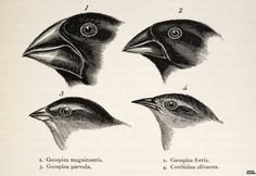Genomes reveal Darwin finches' messy family tree
