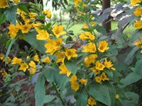 How to Grow and Care for Golden Loosestrife Plants