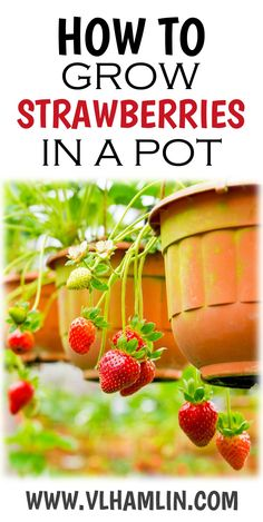 Are you a strawberry lover that is sick and tired of the high prices and highly used chemicals on the sweet fruit at the grocery store? Learn how to grow strawberries in a pot so you can have fresh, yummy summer fruit year round! Strawberry Planters, Strawberry Garden, Fruit Garden, Strawberry Snacks, Strawberry Plant Care, Strawberry Ideas, Growing Herbs, Growing Vegetables, Gardens