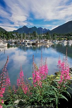 Coastal town of Sitka, fireweed, Crescent harbor, Alaska - one of my favorite places