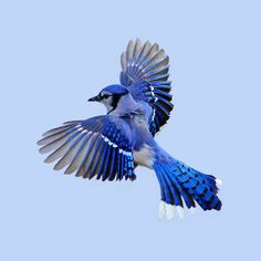 blue jay in flight - Google Search