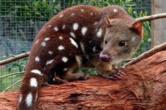 A sniff of hope to save the Otways' lost quolls
