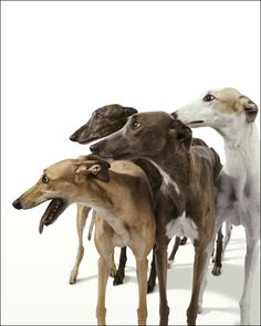 greyhounds ~ I can't get enough of them!