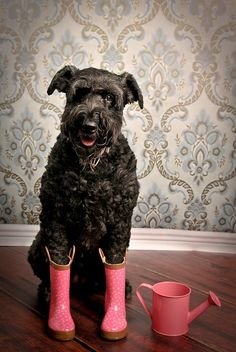 Giant Schnauzer...these guys have my heart. :) Puppy Dog Puppies Dogs Pup