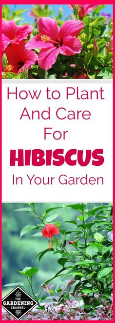, Growing is a tropical flower with many different varieties. Learn how to grow and care for Hibiscus in your garden and how to keep your plant healthy. , How to Grow Hibiscus Hibiscus Bouquet, Hibiscus Garden, Hibiscus Flowers, Hibiscus Tree Care, White Hibiscus, Cactus Flower, Growing Hibiscus, Growing Flowers, Planting Flowers
