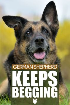 German Shepherd's are some of the most beautiful dogs around but they can also have some annoying traits. Today we will dive into all we need to know about training our pups to be well behaved and pleasant to be around. German Dog Breeds, Best Dog Breeds, Best Dogs, German Shepherds, German Shepherd Dogs, Guard Dog Breeds, Dog Breed Info, Most Beautiful Dogs, Getting A Puppy