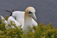 Northern Gannet by Fred van Maurik on 500px