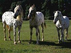 Pferderasse Knabstrupper