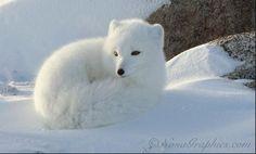 Arctic Fox (winter coat)