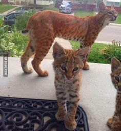 When you go to get your mail and there are Bobcats in your front door