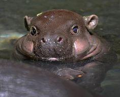 Até um hipopótamo em pequeno é foifinho!