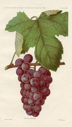 Critic Grape