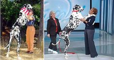 Hercules might be the biggest dog in the world, but the tallest according to the Guinness World Records is Gibson, a Harlequin Great Dane, who is 42.2 inches. The 170-pound Dane is more than 7 feet tall, taller than most NBA basketball players.