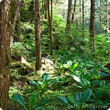 Photo of trees in Tongass National Forest in Southeastern Alaska