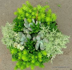 Sedums in a group planting