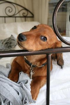Oh so cute little Dachshund.  Purchase a copy of the children's book Henry In A Hurry for $15 here: https://www.createspace.com/4600705