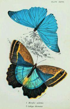 Morpho adonis Caligo illioneus butterflies vintage chromolithograph Lloyds Natural History print reproduction - Re-Wilding Butterfly Images, Butterfly Drawing, Butterfly Painting, Vintage Butterfly, Butterfly Illustration, Illustration Art, Beautiful Butterflies, Natural History, Illustrations