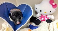 Scooby's ears had to be removed after he was badly burned, so staffers at the veterinary hospital gave him a friend with the same condition. Read more