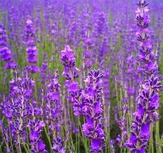 Reshare if your a #Lavender lover ! Get started with 500 #flowerseeds  for…