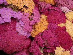 Flowers & Fillers Yarrow?