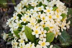 Primula vulgaris Home And Garden, Flowers, Plants, Plant, Royal Icing Flowers, Flower, Florals, Floral, Planets