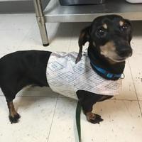 Salem, Oregon - Dachshund. Meet Numair, a for adoption. https://www.adoptapet.com/pet/21121898-salem-oregon-dachshund-mix