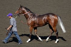 bay with Gulastra plume - Thoroughbred stallion Paddy the Pro