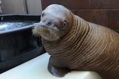 Baby Walrus Adapts to Life in City - Wildlife Conservation Society