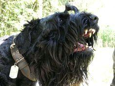 Black Russian Terrier - Armagedon s Zolotogo Grada