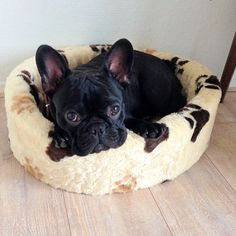 """I'm not moving"", comfy French Bulldog Puppy"
