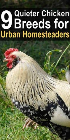 Living in an area with irritable neighbors or noise regulations, you need chickens that are on the quieter side. These are known to be a little less noisy. #homesteadsurvivalsite #chickens #backyardchickens #urbanhomesteading