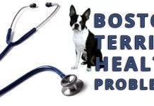 Health Problems of the Boston Terrier Dog Breed