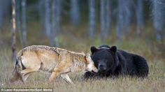 This Bear And Wolf Combo Is So Rare It May Never Be Seen Again Wolven leven in roedels, beren leven alleen. Wanneer een natuurfotograaf (Lassi Rautiainen) dit onwaarschijnlijke duo in het noorden van Finland zag, wist hij dat hij getuige was van een mooi en zeldzame vriendschap. Hij volgde deze eenzame vrouwelijke grijze wolf met een enorme mannelijke bruine beer 10 dagen lang. Hij was getuige van het feit hoe de beer en wolf met elkaar hun prooi deelden. Dit gedrag komt tussen verschillende…